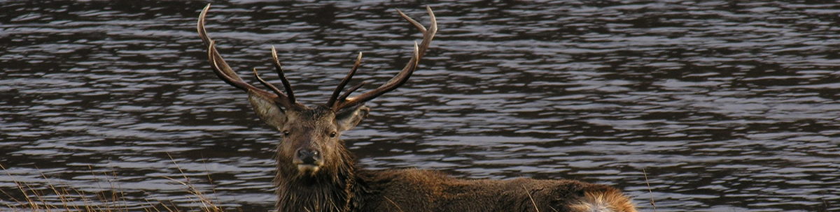 Red Deer Stag Ardnamurchan Scotland