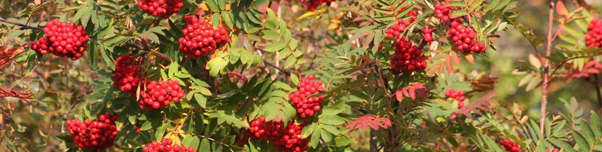 Rowan Berries Ardnamurchan Scotland