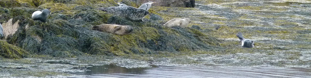 Seals Ardnamurchan Scotland