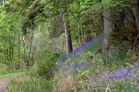 Bluebells - Bramble Cottage self catering in Strontian Ardnamurchan Scotland