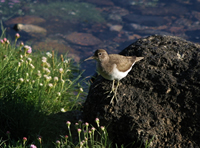 Sand Piper - Bramble Cottage self catering in Strontian Ardnamurchan Scotland