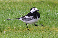 Wagtail on the march