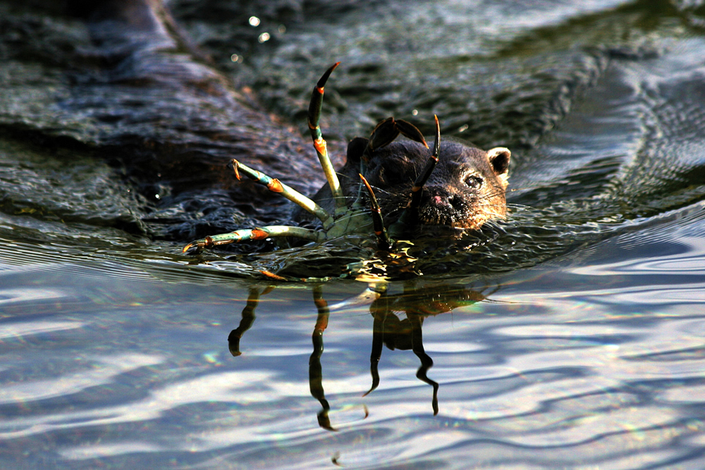 Otter with crab Ardnamurchan Scotland