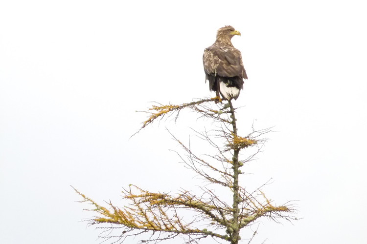 Sea Eagle Ardnamurchan Scotland